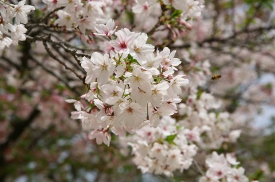 ヤツの街の桜は散り始めていて、すでに葉が混じっていた