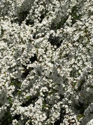 玄関の前で、まさしく「ぶわっ」と咲いた名も知らぬ花に、思わずシャッターを切った。コイツもモクレン同様、いつも桜の開花の1週間前くらいに満開になる