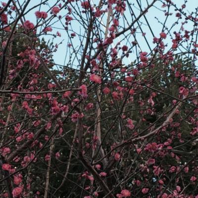 2月といえばこれですな、可憐に咲く梅だ。小さい春を見つけたよ