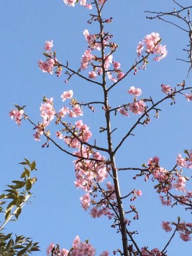 近所に早咲きの桜が数本あり、昨日通りかかると見事に花をつけていた。本文とあまり関係ないが、3月ということで(苦笑)
