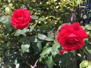 春真っ盛りで道々にはいろんな花が咲き乱れている今日
