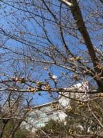 奇跡の桜にいい予感。