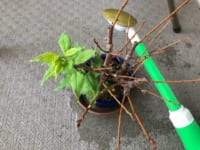 盆栽に悩む昭和40年男。