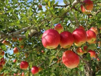 リンゴイメージ